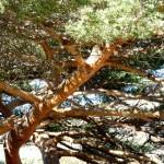 Vieux Pin dans Canyon